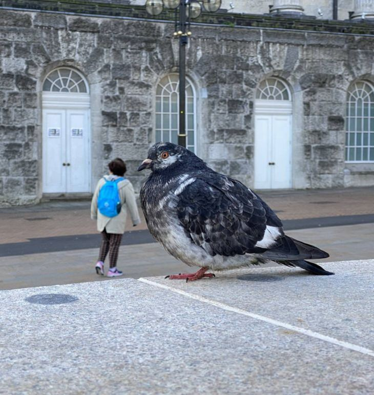 Confusing Photos, giant pigeon
