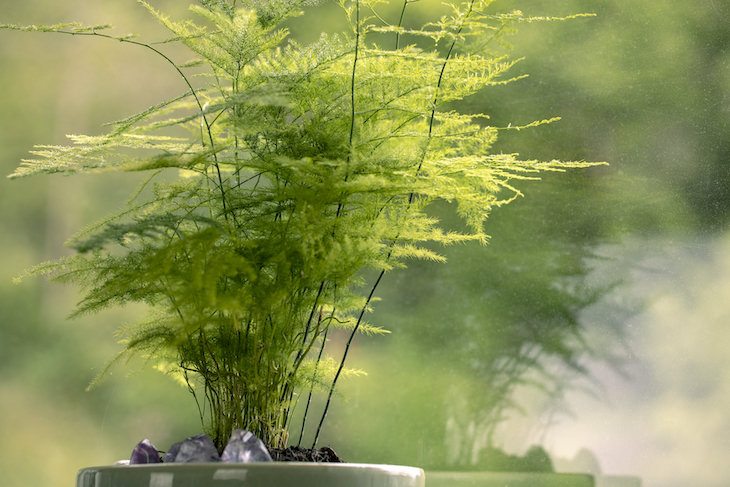9 Houseplants That Can Be Toxic For Pets and Kids asparagus fern