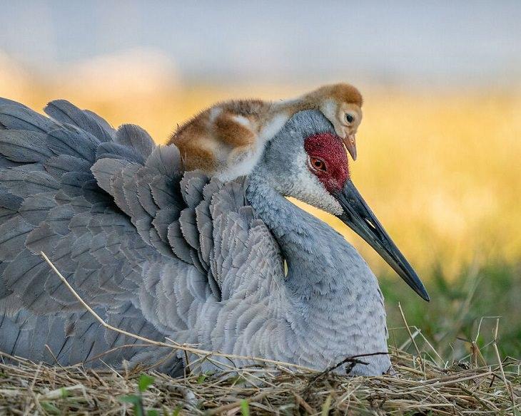 2021 Audubon Photography Awards Winners, Sandhill Crane