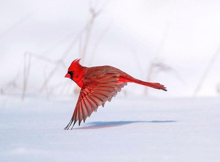 2021 Audubon Photography Awards Winners, Northern Cardinal