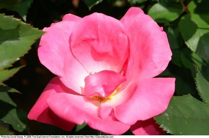 Low Maintenance Rose Varieties, Rosa 'Knockout'