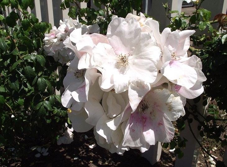 Low Maintenance Rose Varieties,  'Sally Holmes'