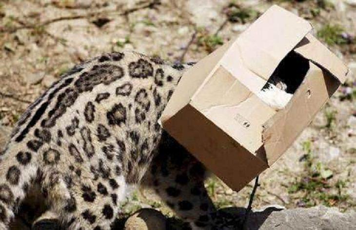 Big Cats, jungle cat