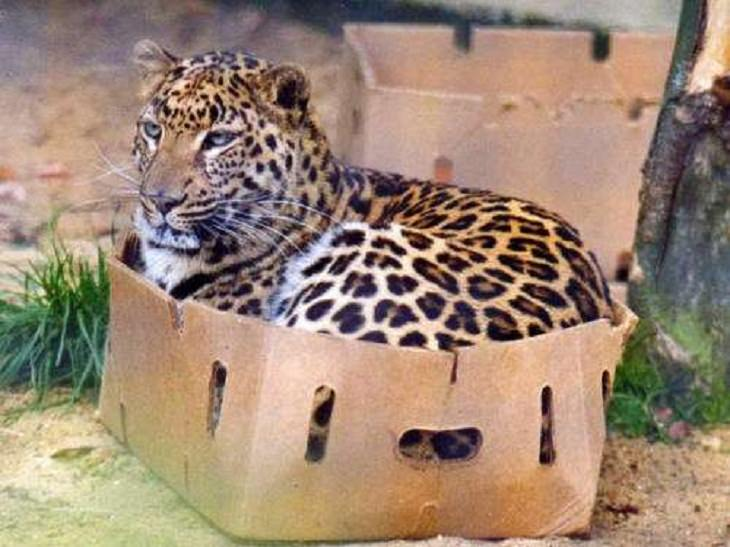 Big Cats, leopard