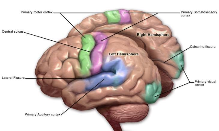 Speech Tech for Paralyzed Patients brain structure