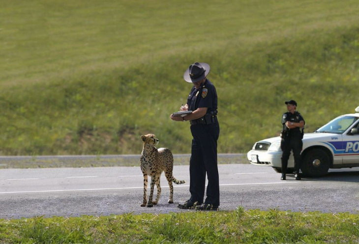 Bizarre Pictures Cheetah speeding ticket