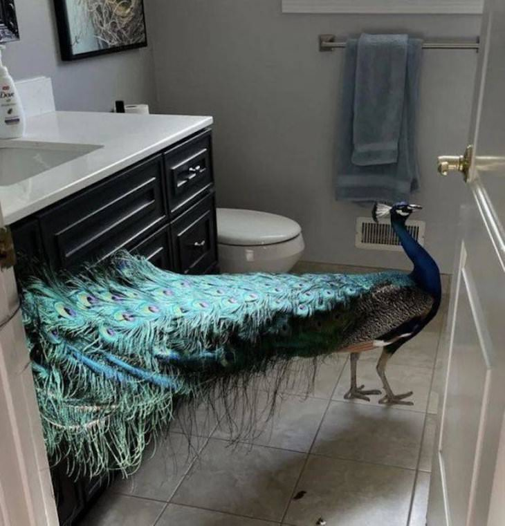 Animal Guest Found In Unexpected Places peacock