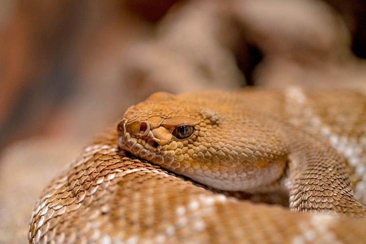 Snakes copperhead closeup