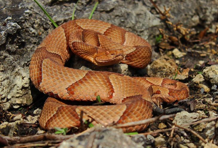 Snakes copperhead