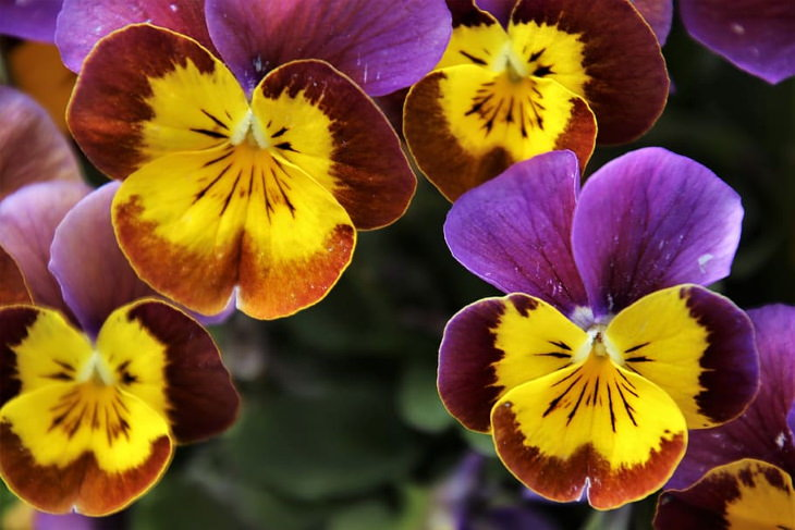 Flowers to Grow in August and Early Fall Pansies
