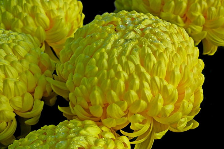 Flowers to Grow in August and Early Fall Chrysanthemums