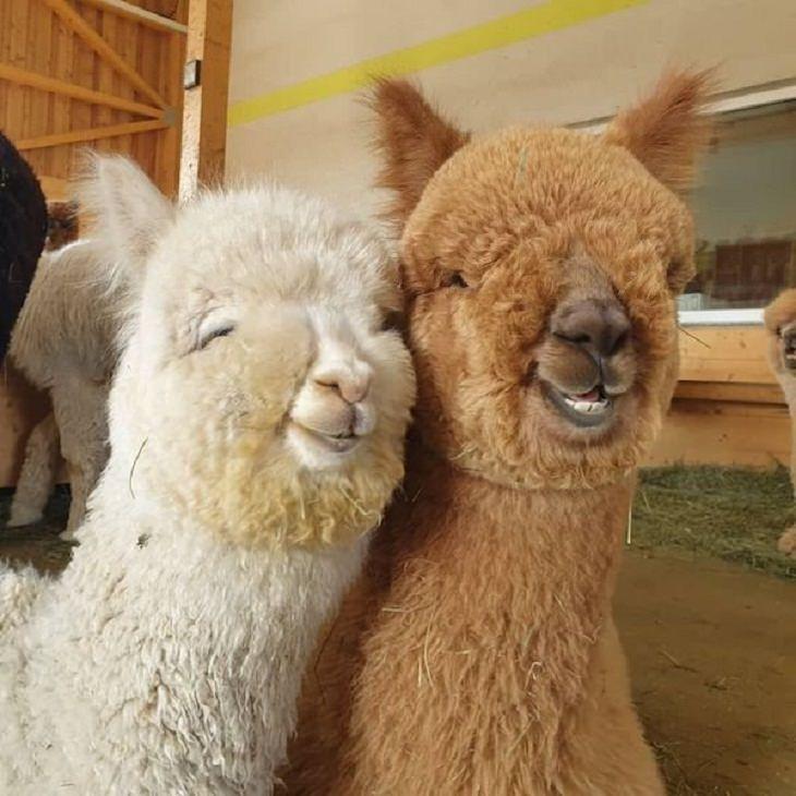 Funny Animals Pics, llama
