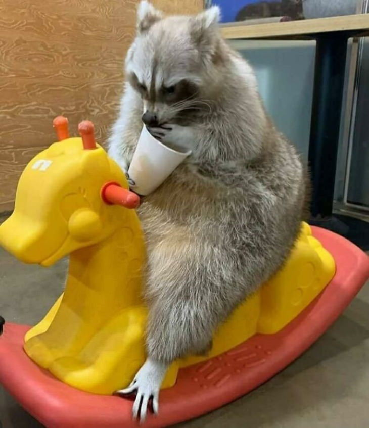 Funny Raccoon Pictures sitting on a toy horse