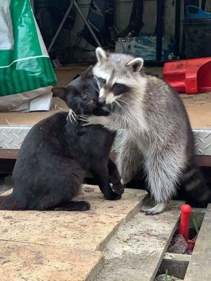 Funny Raccoon Pictures cat hugs raccoon