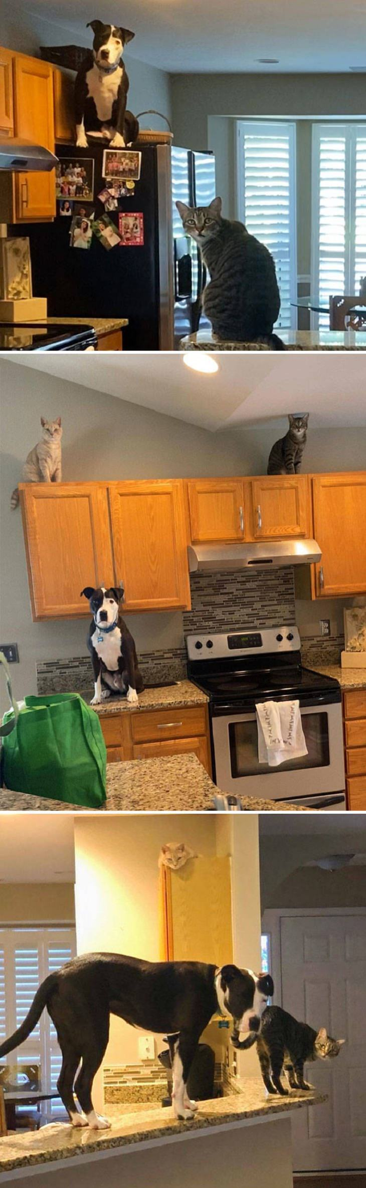 Dogs Believe They Are Cats, cat stuff