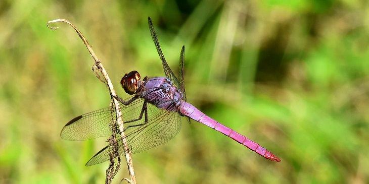 beautiful bugs Roseate Skimmer