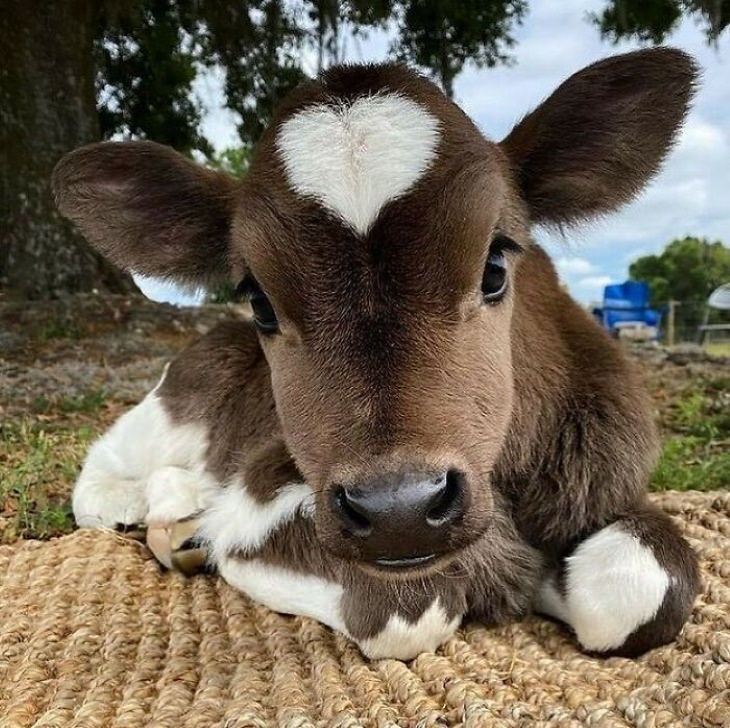 Cute Animals  calf with a heart on face