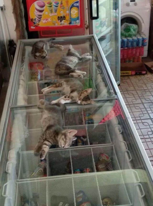 Heatwave kittens cool off on the freezer