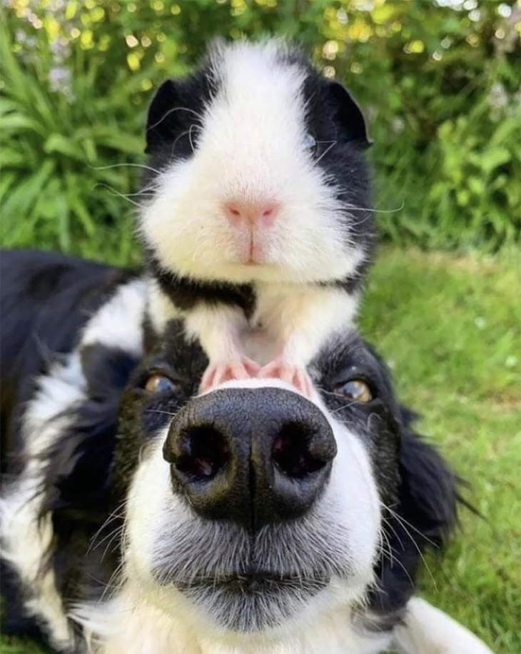 Animal Lookalikes black and white guinea pig and dog