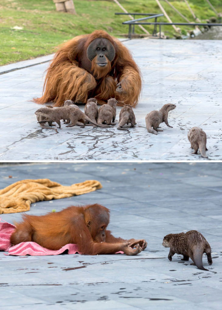 Funny Monkeys and Apes  orangutans and sea otters