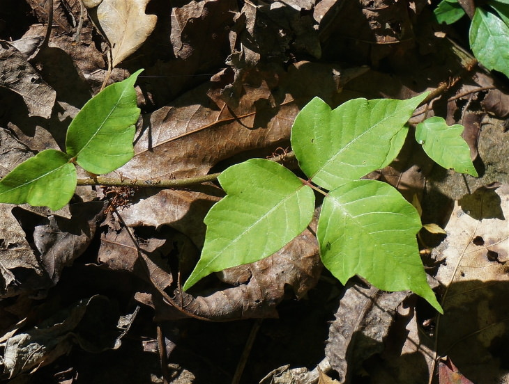 Home Remedies For Poison Ivy - poison ivy plant