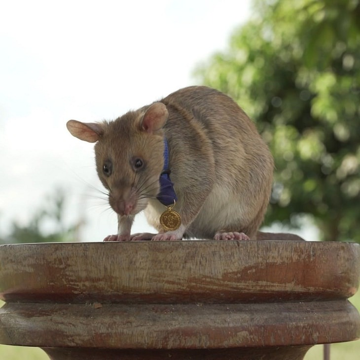 Funny Animal Stories, Magawa, the fearless rat