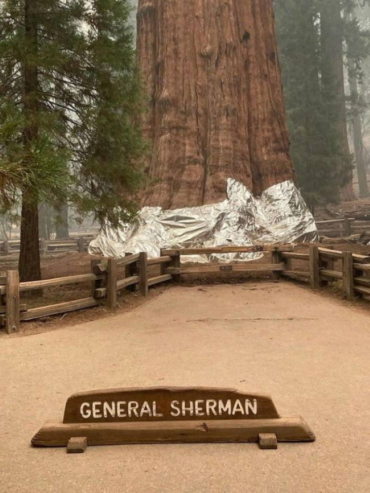 Natural and Cultural Phenomena world's largest tree wrapped in aluminum foil