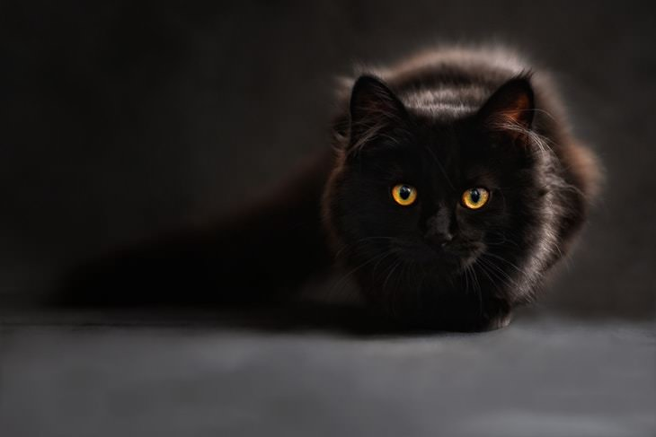 Facts About Black Cats fluffy black cat