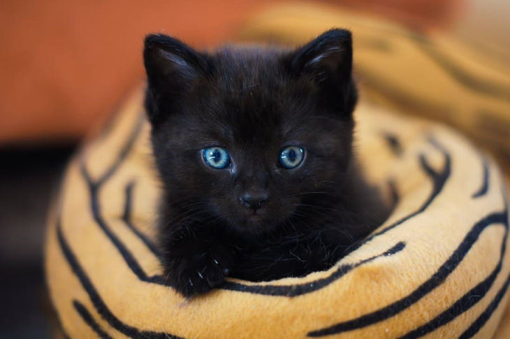 Facts About Black Cats kitten