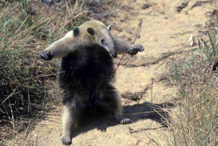 Scary Facts T-Pose of an anteater