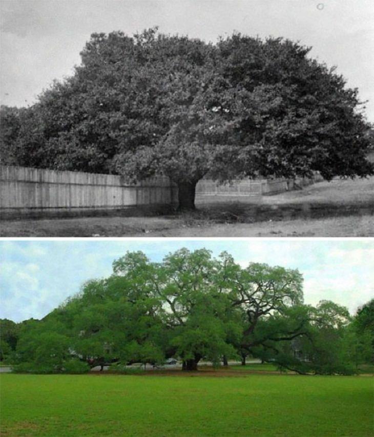 Before & After Pics, The Big Oak