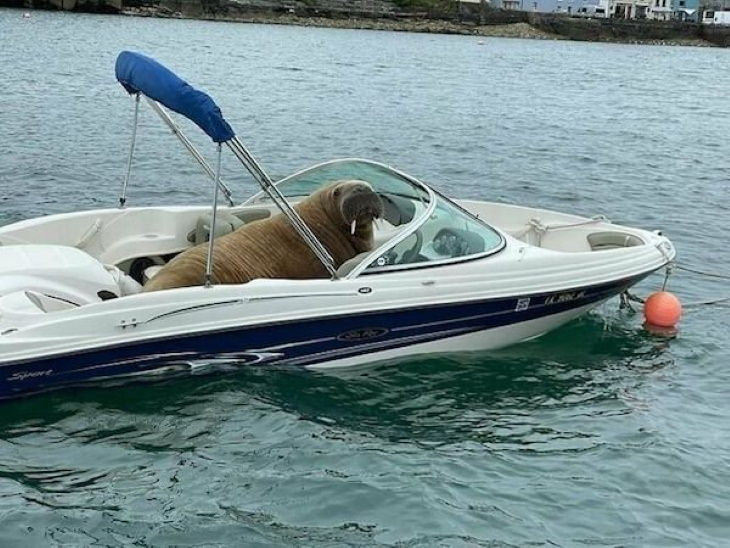 Funny Animals walrus boat