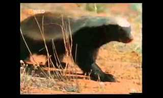 The Crazzzy Honey Badger - Hilarious!