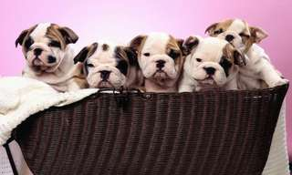 These Wrinkled Puppies are Just Too Cute to be Real!