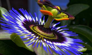 The Health Benefits of Passion Flowers