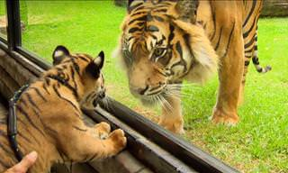 Tiger Cubs Meet an Adult Tiger for the First Time Ever