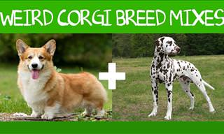 Corgi Goes With Everything: 16 Adorable Corgi Mixes!