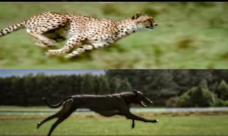 Cheetah vs. Greyhound Speed Test