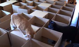 Amazing 50 Box Cat Maze