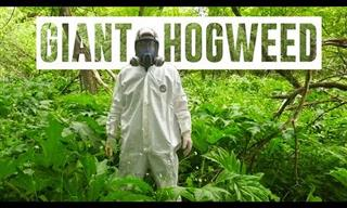 Why the Giant Hogweed Is Such a Dangerous Plant