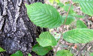 Amazing Health Benefits of Slippery Elm