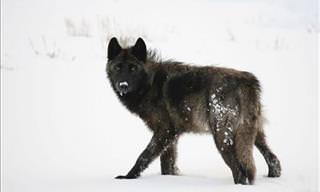 The Amazing Wildlife of Yellowstone National Park