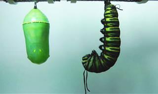 A Caterpillar Becomes a Butterfly