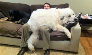 Big Dogs Need Cuddles Too - 20 Enormous Dogs Being Cute