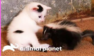 Mother Cat Adopts a Tiny Skunk