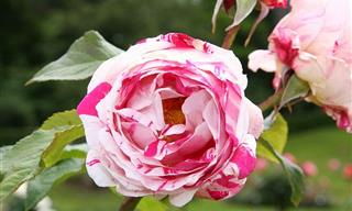 These Roses Bloom With Minimal Fuss and Care