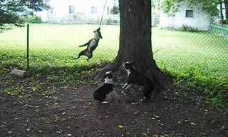 Three Dogs, One Rope  - Hilarity Ensues!