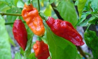 Rating 24 Peppers By Spiciness Using the Scoville Rating