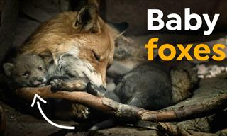 Inside a Red Fox's Den, You Will Find... Cute Baby Foxes!