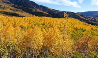 Pando: the Tree Grove That Is the World's Largest Organism